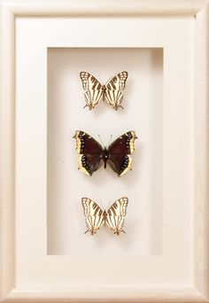 Golden beauty of Nature Framed Butterflies - A unique Collection