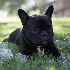 Because BUBBLES! Auggie the French Bulldog Puppy, @auggie_thefrenchie, Swipe right to see my obsession. ➡️ #thesethingsarecrazy #wtfbubbles #whatevenarethey, @troxphotos #frenchbulldog #frenchbulldogsofinstagram #dog #themaxbone #puppy #dogsofinstagram #frenchie #bulldog #instapet #pet #ilovemydog #dogstagram #petstagram #bully #frenchbully #squishyfacecrew #frenchiegram #bullypics #theworldofbullies #instadog #puppysnaps #frenchiegram #barkleyshomies #mannysbuddyoftheweek #frenchiesoverload