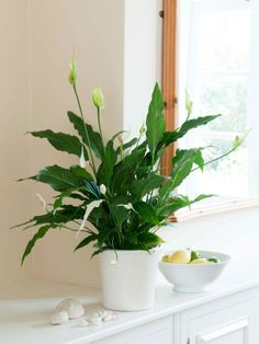 No Sunlight Plants, Indoor Garden, Peace Lily
