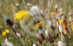 Dandelion and Little Bee