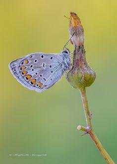 https://flic.kr/p/szMNoe   Polyommatus icarus   Polyommatus icarus (Rottemburg, 1775) Dimensioni: Lunghezza ala anteriore mm. 13-17 Apertura alare: 25 - 36 mm. Descrizione della specie: Una delle più comuni farfalle europee: la parte superiore delle ali dei maschi ha un colore di fondo blu violaceo vivace con bordi marginali neri molto sottili e con corpo ricoperto da squame piliformi bianche; la parte inferiore ha colore di fondo bruno grigiastro chiaro con macchie nere e macchie marginali…