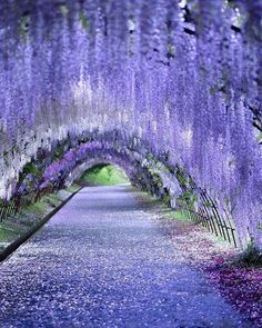 Beautiful Nature Wallpaper, Beautiful Landscapes, Beautiful Gardens, Wisteria Garden, Purple Wisteria, Wisteria Tunnel Japan, Wisteria Wedding, Wisteria Tree, Wisteria Pergola