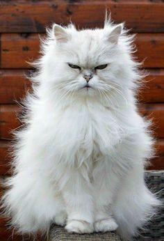 Персидская кошка (фото): животное артистической богемы  Смотри больше http://kot-pes.com/persidskaya-koshka-foto-zhivotnoe-artisticheskoj-bogemy/