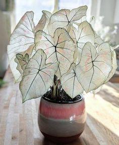 "Caladium ""Marie Moir""/'Angel Wings' Foliage Plants, Potted Plants, Garden Plants, Indoor Plants, Cool Plants, Bamboo Garden, Colorful Plants, Nature Plants, Succulents Garden"