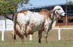 girolando cattle   Marcadores: Notícias Livestock Judging, Livestock Farming, Showing Livestock, Bucking Bulls, Farm Animals, Cute Animals, Smiling Animals, Gado Leiteiro, Gyr