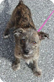 Montpelier, VT - Yorkie, Yorkshire Terrier/Chihuahua Mix. Meet Godiva a Dog for Adoption.