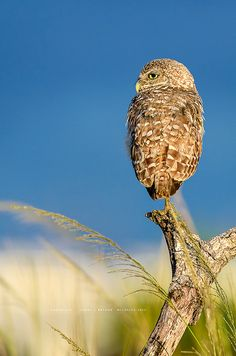 Burrowing Owl, Inspired by the Seaside | Flickr - Photo Sharing! #CapeCoral #Wildlife #Owl #BurrowingOwl #Birds #Wildlife © Cindy J Bryant | www.CindyBryantPhotography.com