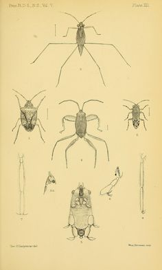 Reports on the zoological collections made in Torres Straits by Professor A.C. Haddon, 1888-1889. Rhynchota from Murray Island and Mabuiag - BioStor