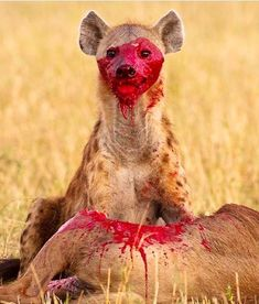 Wildlife photo by - hyena - predator - bloody Wild Creatures, Wild Nature, African Animals, Ocean Life, Creature Design, Predator, Mammals, Kangaroo, Character Art