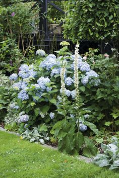 ♕ wish I could grow blue hydrangea in my garden