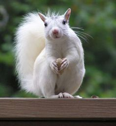 white squirrel photos - Google Search