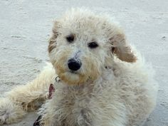 Goldie on the beach, dry. -Roxanne Slimak