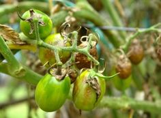 Early Blight is a plant disease caused by a fungal pathogen called Alternaria Solani. The causes, symptoms and the treatment for early blight in the article Garden Plants Vegetable, Tomato Garden, Tomato Plants, Healthy Juice Recipes, Healthy Juices, Tomato Plant Diseases, Patio Tomatoes, Culture Bio, Growing Tomatoes