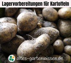 Kartoffeln sind im Anbau recht pflegeleicht. Aber wer eine große Menge Kartoffeln anbauen möchte, muss sich auf die Lagerung der Ernte frühzeitig einstellen. #Garten #Nutzgarten #Kartoffeln #Kartoffelanbau