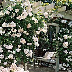 Sally Holmes Pink-white Antique Climbing Rose