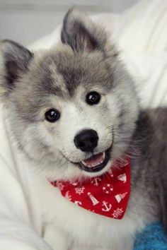 "What Do You Know about the Latest Hybrid Dog ""Pomsky""? - Particle News"
