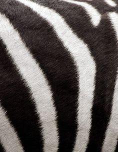 ...zebra