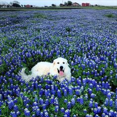 "102 Likes, 9 Comments - Byccombe Natural Solutions (@byccombe) on Instagram: ""(2nd of 2 pics) My all time favorite picture of our Springfield Farm in full Texas Blue Bonnet…"""