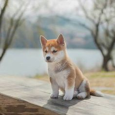 Shiba Inu Puppies: Cute Pictures And Facts - Dogtime Akita Puppies, Shiba Puppy, Akita Dog, Cute Dogs And Puppies, Pet Dogs, Pets, Cute Baby Animals, Funny Animals, Chien Shiba Inu