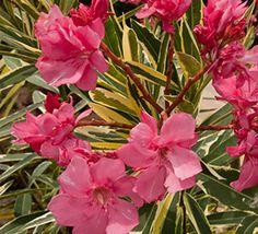 Twist of Pink™ Variegated Oleander
