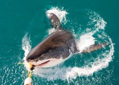 Swim with the Sharks in South Africa, in a shark cage.  Tours out of Cape Town