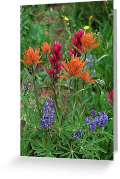 Rocky Mountain wildflowers including Indian Paint Brush
