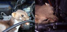 Jak uchronić nasze auta przed kunami? Ferret, Animals, Animales, Animaux, Ferrets, Animal, Animais, European Polecat