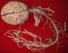 Brain Anatomy, Anatomy And Physiology, Human Anatomy, Dental Anatomy, Human Nervous System, Central Nervous System, Gunther Von Hagens, Spinal Cord, Spinal Nerve