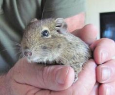 Hannah the Degu @ 5 yrs. She is the last of the litter. 2012