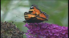 Een kop, een borststuk en een achterlijf en zes pootjes: de vlinder is een insect!