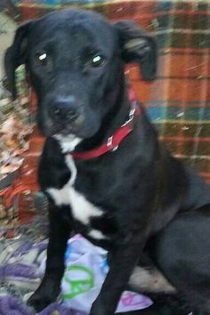 Available for adoption - Bobby is a male dog, Labrador Retriever Mix, located at Puppy Love Rescue in West Bend, WI.