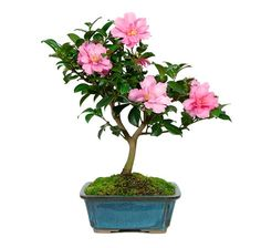 """The Camellia Bonsai Tree is a unique tree that blooms again and again with deep red to pink blossoms from late fall to early spring and many love to keep them as part of their patio decorations! Do you need a healthy dose of color during the cold winter months? This tree, known affectionately by experts as the """"Hot Flash"""", will certainly not let you down. It is a slow growing evergreen, that is consistently a costumer favorite."""