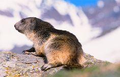 Gran Paradiso. Marmotta