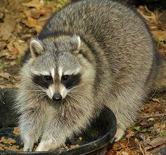 raccoon . . .