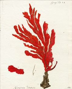 Coral botanical print (and yes, I am aware that coral is an animal, not a plant).