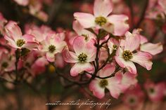 Blooming #dogwood #tree photograph pink flowers by Jessica Nichols, Sweet Eventide Photography, $30.00
