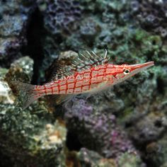 Longnose Hawkfish  This is my favorite fish.  He is so cool looking.