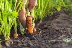 Essential Preliminaries for Growing Vegetables The best time to start making a vegetable garden is in the autumn for it is then that one must plan for the year ahead. To grow vegetables well you must Growing Peas, Growing Carrots, Homestead Gardens, Farm Gardens, Kinds Of Vegetables, Growing Vegetables, Organic Vegetables, Fruit Garden, Vegetable Garden