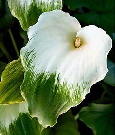 Green Goddess Calla Lilly // Great Gardens & Ideas //