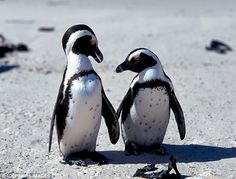 The Cape escape: Perky penguins, cheeky monkeys and blue skies in South Africa African Penguin, Led Lighting Solutions, Boulder Beach, Pink Eyeshadow, Cute Penguins, Love Reading, Photos Du, Belle Photo, Animal Kingdom