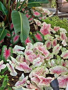'Miss Muffet' caladium...love this in my shady garden