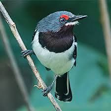 BROWN-THROATED WATTLE-EYE (Female) - Platysteira cyanea . . . W, C, NE tropical Africa