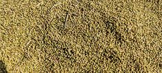 Coriander seeds fresh from Ramganjmandi,kota Rajasthan Growing Coriander, Coriander Seeds, Indian Dishes, Animal Print Rug, Fresh