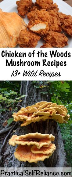 Chicken of the Woods Mushroom Recipes — Practical Self Reliance Chicken of the Woods mushrooms are incredibly common in the woods, and they're commonly found Edible Mushrooms, Wild Mushrooms, Stuffed Mushrooms, Mushrooms Recipes, Garden Mushrooms, Growing Mushrooms, Chicken Mushroom Recipes, Chicken Recipes, Vegetarian Recipes
