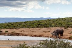 African Bush Elephant family drinking African Bush Elephant family drinking water at the dam.