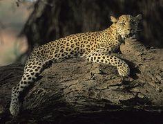 Leopard, Panthera pardus, Resting in tree, Kgalagadi Transfrontier Park, Kalahari, South Africa (25938)