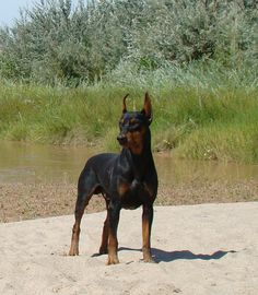 GERMAN PINCHER. Can't wait to have one of my own!