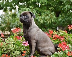Looking for the best dog food for Pugs. Let us help you with our list of top 8 recommended food for pugs and a guide to let you know why they are best. Dog Friendly Plants, Dog Friendly Garden, Best Dog Food, Dry Dog Food, Best Dogs, Small Dog Breeds, Small Dogs, Funny Pug Pictures, Pug Pics