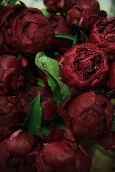 burgundy peonies