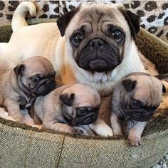 """Good Mama ❤️ Follow @bubblebeccapugs - Did you get your Pug book yet? Your pug deserves this book! ❤️ Search Amazon.com for """"The Pug Who Ate The World"""" Tag #TheTomCoteShow your pug pics for a chance to BE FEATURED!!"""